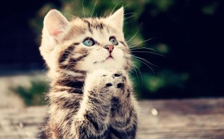 animals-cat-kitten-cute-begging-kitten-wallpaper