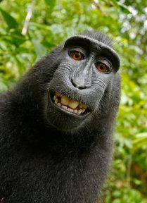 animal-celebes-crested-macaque-funny-50582